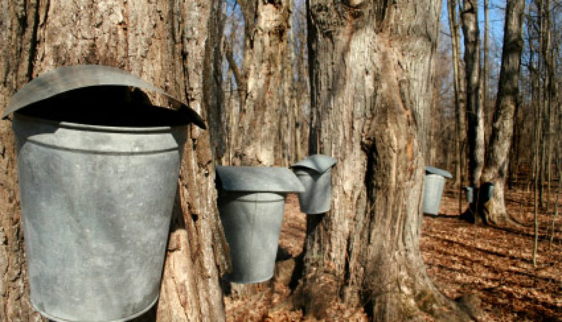 backyard-maple-sugaring